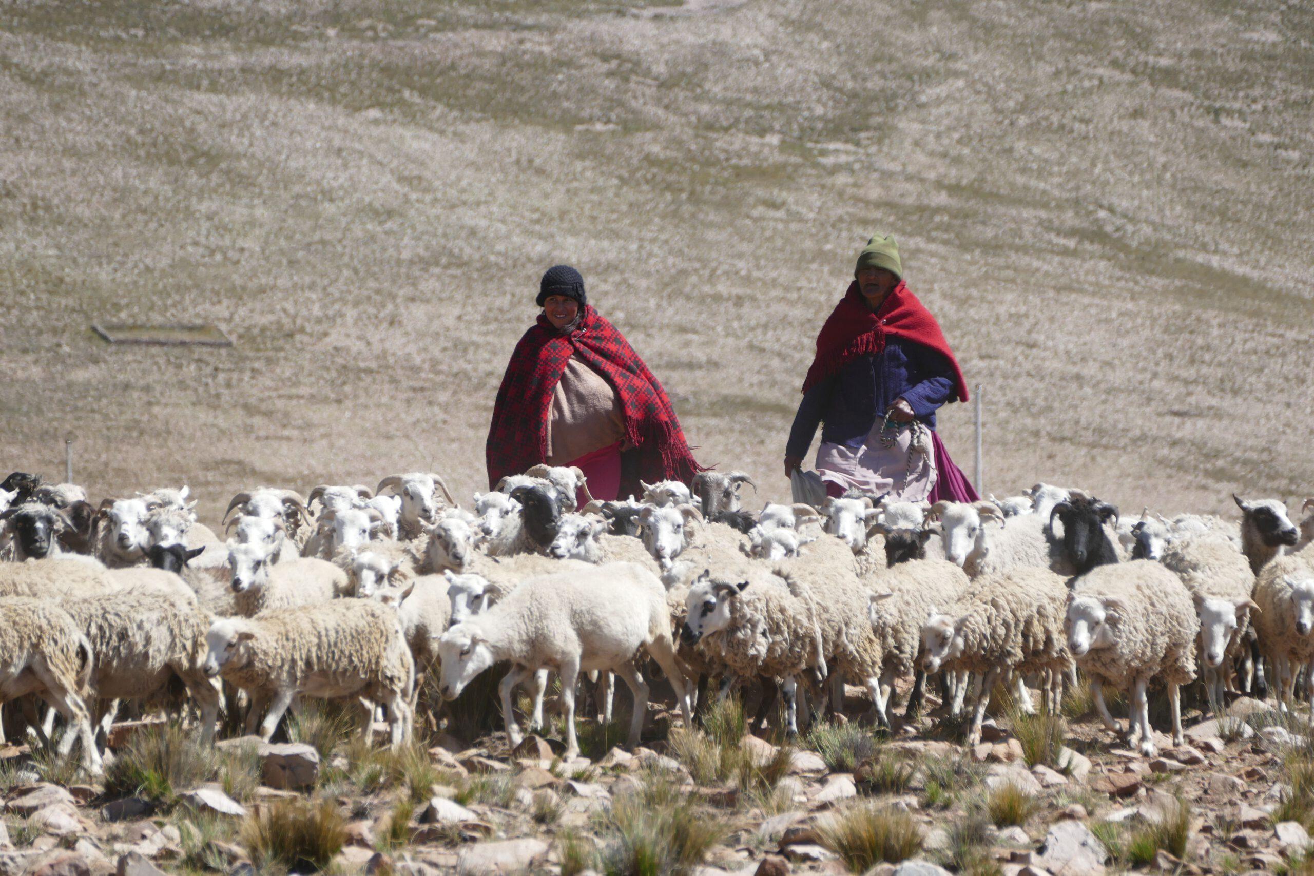 Schafzucht in Bolivien